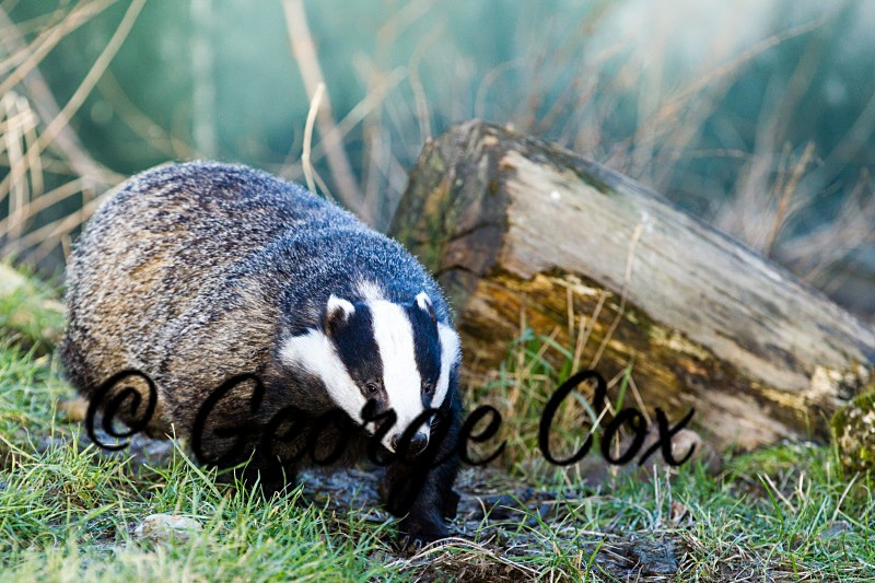 Badger - Mammals
