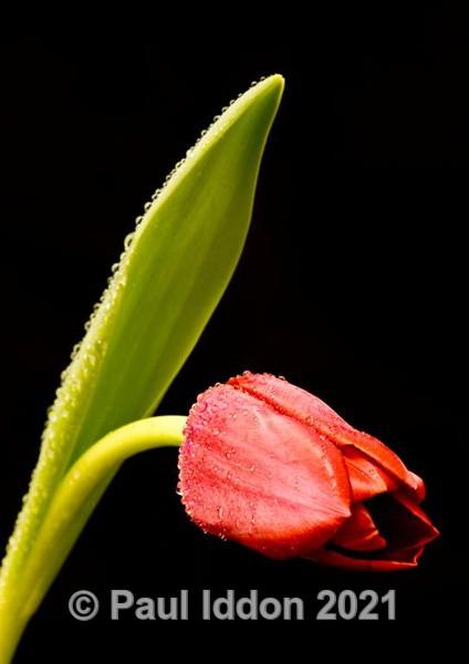 Red Tulips - Macro