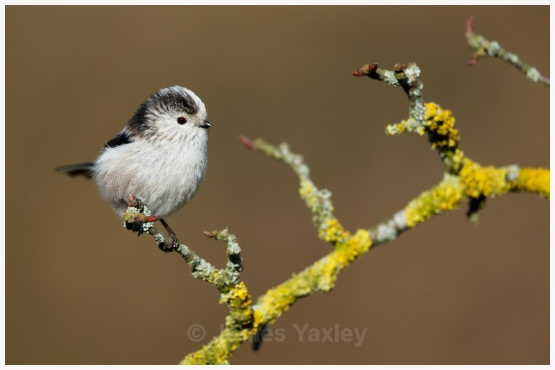 Long-tailed Tit on Lichen Covered Branch  - Latest Work