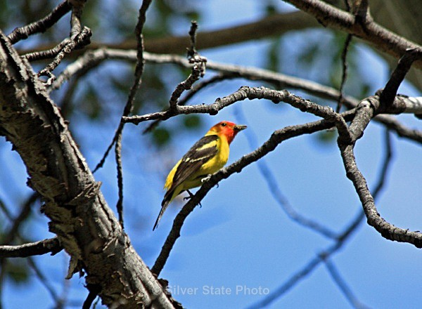 Western Tanager - Nevada Birds