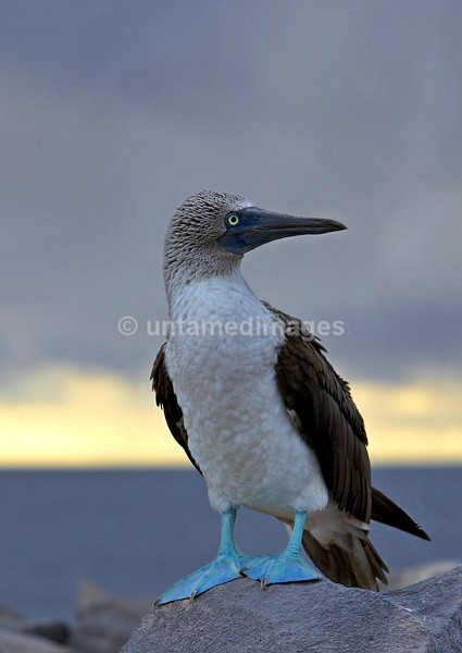 Blue-footed Booby 2 - Galapágos