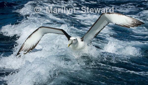 White-capped albatross take-off - Exhibition acceptances
