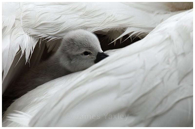 Cygnet - Best of British Wildlife