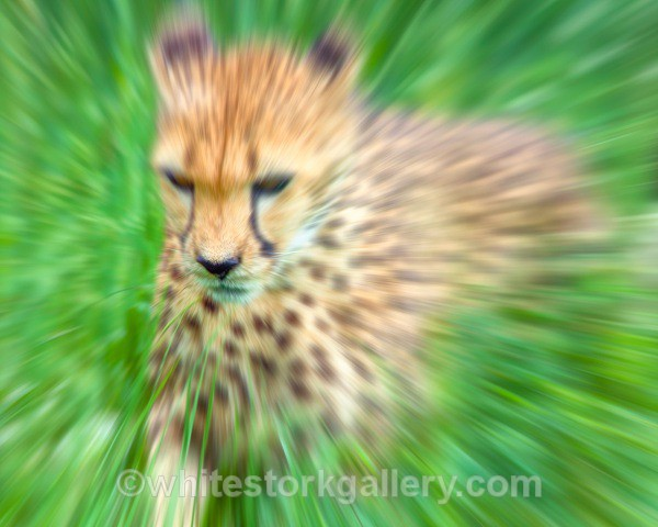 Gepard Cheetah - Wildlife and Animals: Art
