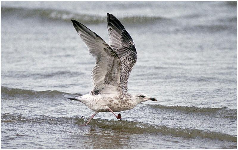 August 16th 2004 - Leggy the Herring Gull