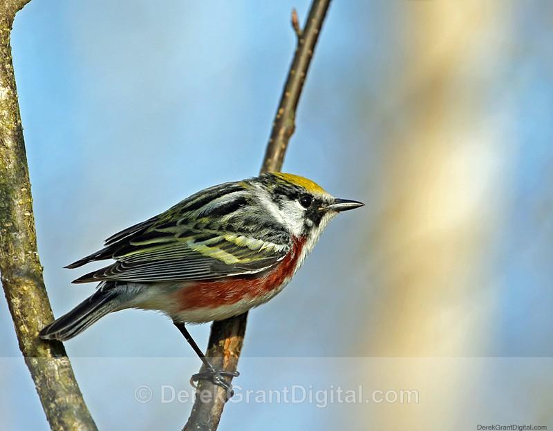Chestnut-sided Warbler (m) - Birds of Atlantic Canada