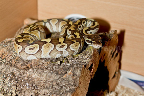 sapphy 2 - Reptile Photography
