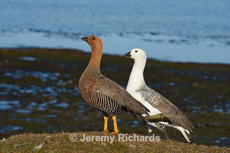 Upland Geese - Bleaker Island