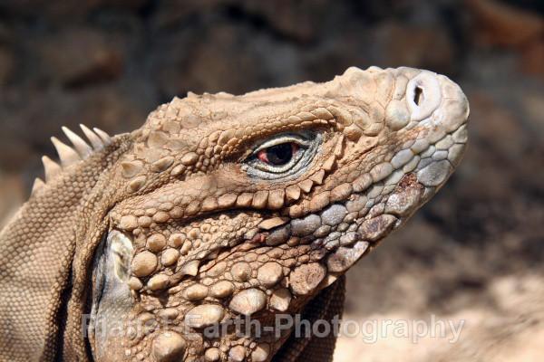Iguana - Cuba