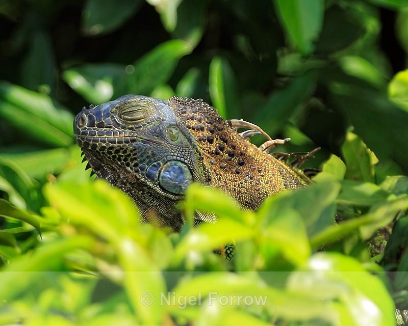 Green Iguana dozing in sun, Costa Rica - REPTILES & AMPHIBIANS