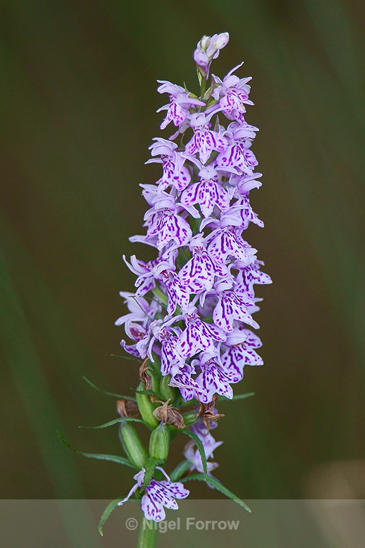 Common Spotted Orchid - PLANTS