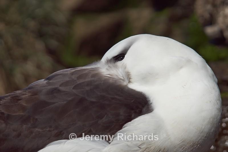 Black-browed Albatross - Saunders Island