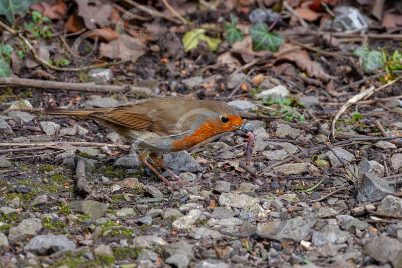 robin Erithacus rubecula-3388 - UK birds