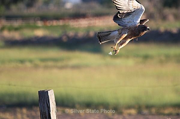 Hawk Takeoff - Nevada Birds