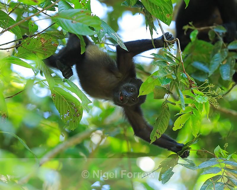 Mantled Howler Monkey, Manuel Antonio, Costa Rica - Monkey