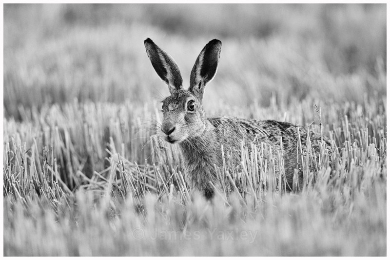 Brown Hare in Black and White - Nature in Black & White