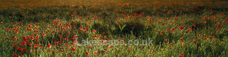 Poppies & Wheat_8794 - Flowers