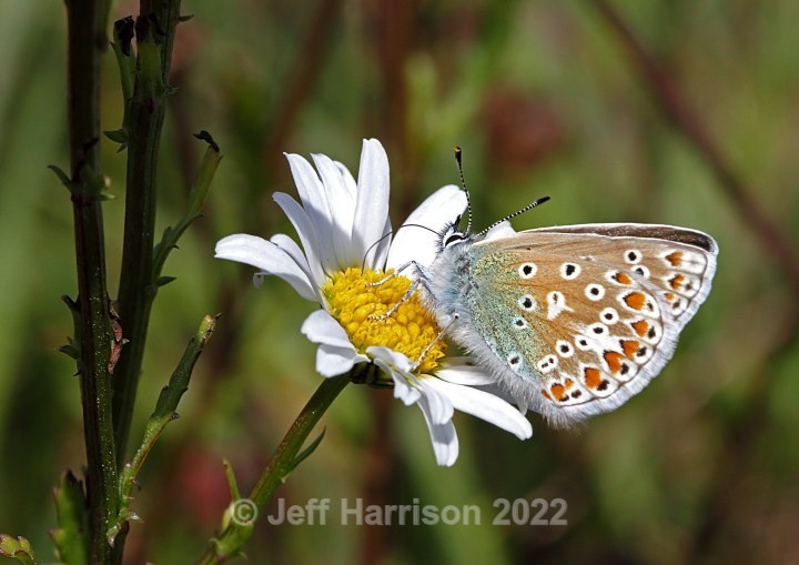 Common Blue on Ox-eye Daisy (image Butt 02) - Butterflies & Moths