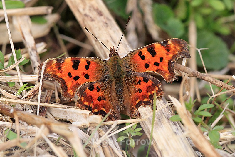 Comma on the Roman Road - INSECTS