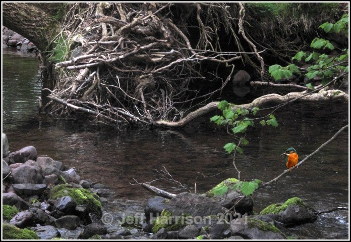 Kingfisher - in habitat (image Kf 116) - Latest additions