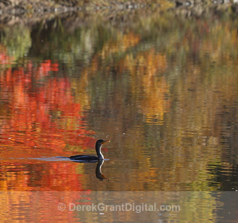 Double-Crested Cormorant in Autumn Waters - New Brunswick Autumn Foliage