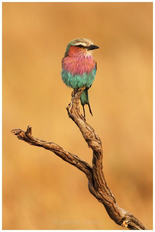 The National Bird of Kenya - Kenyan Safari 2013