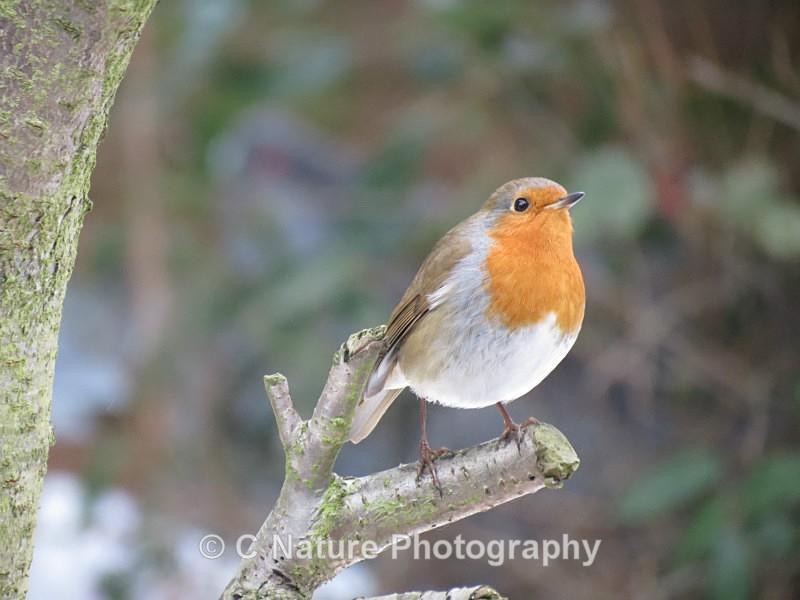Robin - Birds
