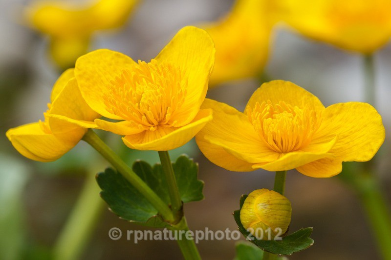 Marsh Marigold - Caltha palustris RPNP0699 - Flowers