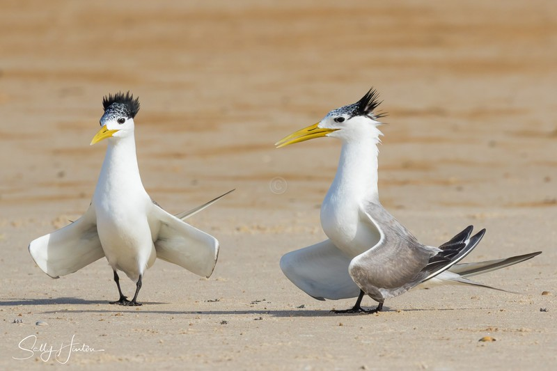 Love Dance 3 - Crested Terns 2018 (For Sale)