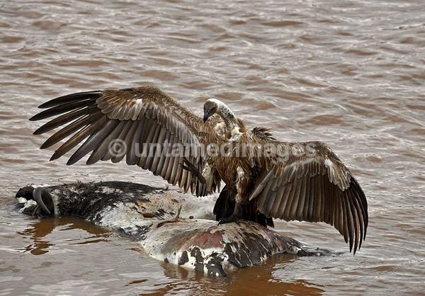 Griffon vulture - Kenya