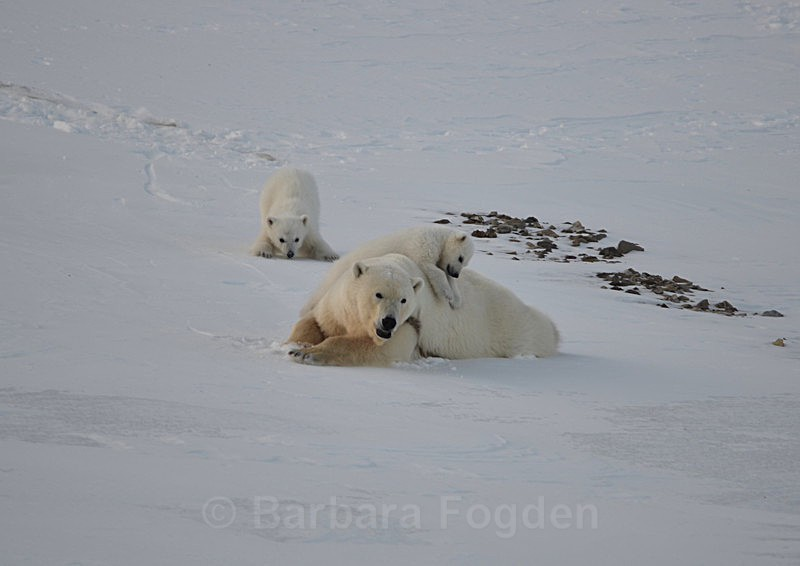 Polarbear cubs 10 - Latest Photos