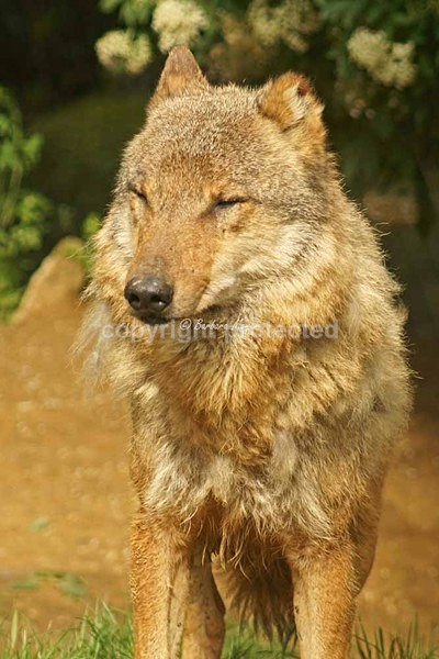 Grey Wolf - Kera (Colchester Zoo) - Smaller Cats & Other Wildlife - Wolves