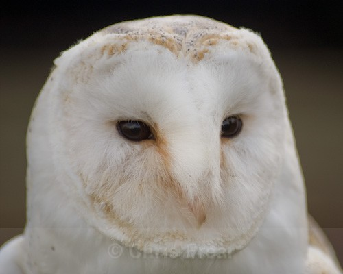 Barn Owl - Animals/ Wildlife