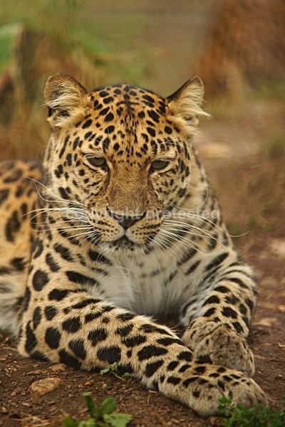 Amur Leopard - Star - Cat Survival Trust - Big and Small Wild Cats