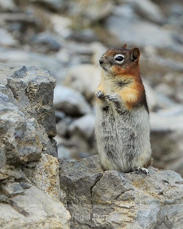 Golden-mantled Ground Squirrel standing upright, Sulphur Mountain - Squirrel
