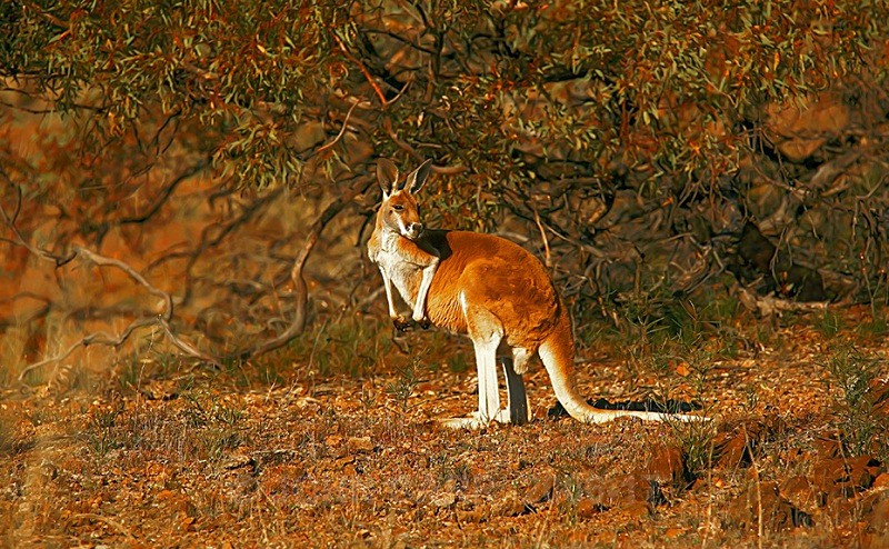 Red Kangaroo 1 - ANIMAL AND BIRD PHOTOS