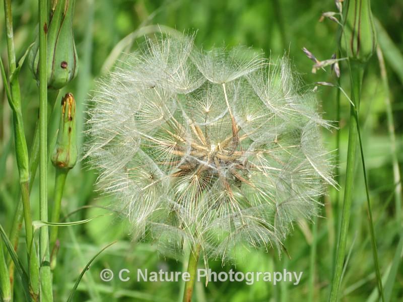 Dandelion - Plants