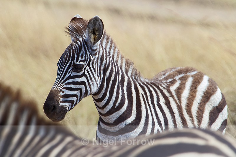 Young Zebra - Zebra