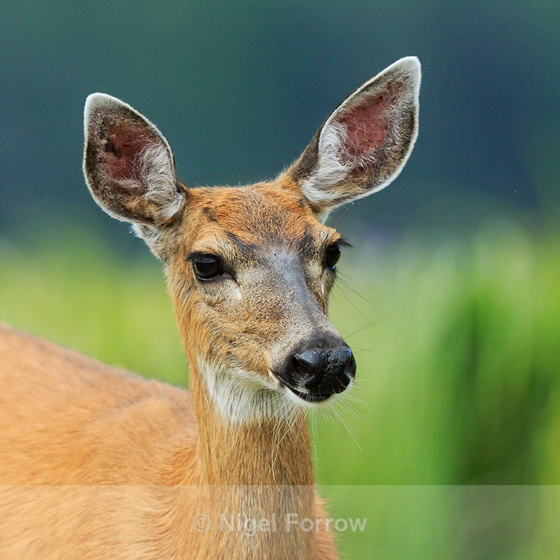 Black-tailed Deer close-up, Knight Inlet, Canada - Deer