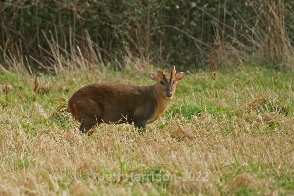 Muntjac Deer (image MD 01) - Mammals