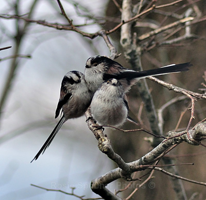 Long tailed tits huddled together on a winter's day - Birds and Wildlife