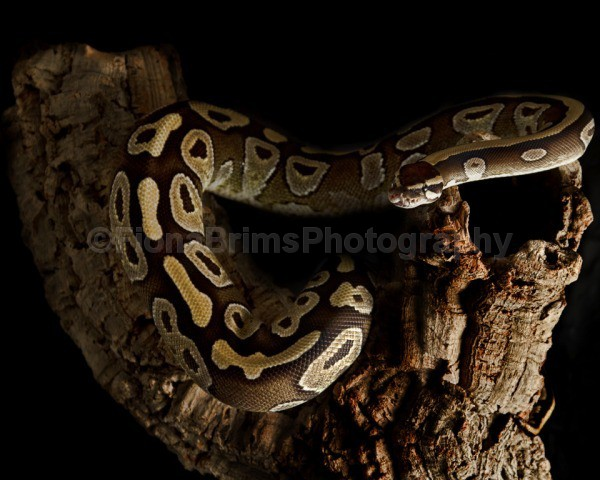 snakes-224 - Reptile Photography