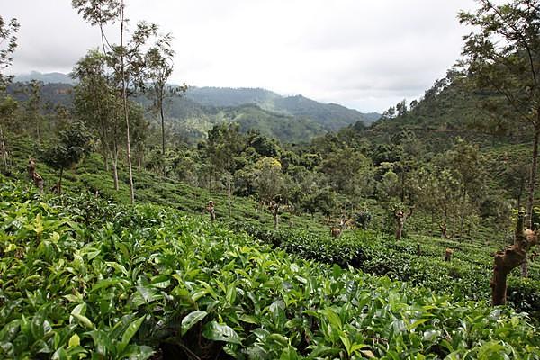 Tea plantation, Ella, Sri lnka - Sri Lanka wildlife, people & places