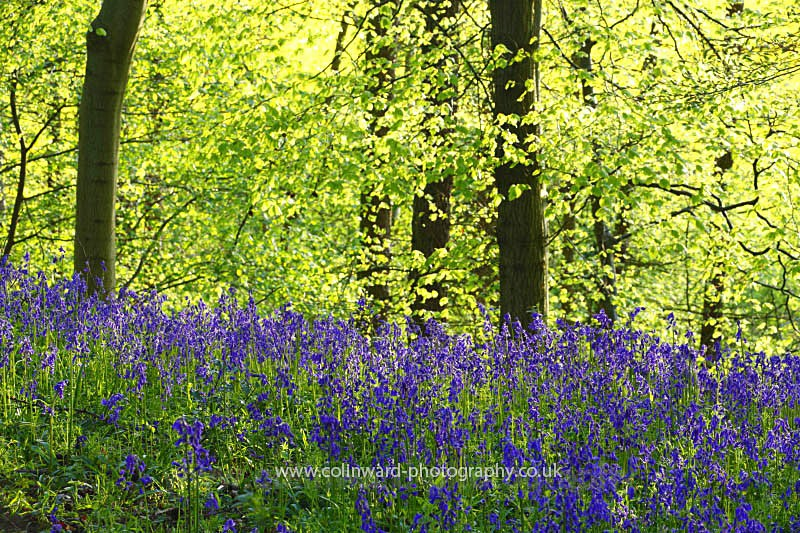Bluebells in Croxdale Wood, County Durham  ref 3252 - County Durham