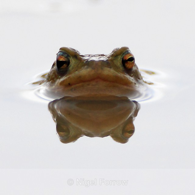 Common Toad reflection in a puddle, Otmoor - REPTILES & AMPHIBIANS