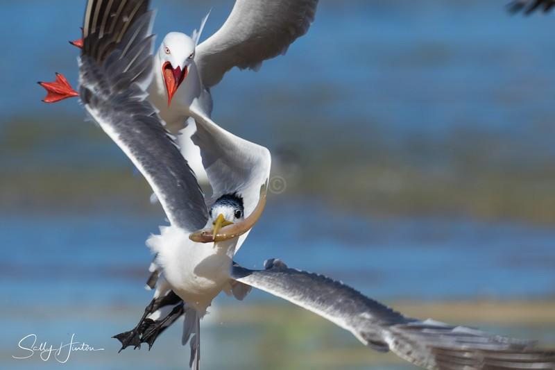 Gull Attack Tern - Silver Gulls 2018 (For Sale)