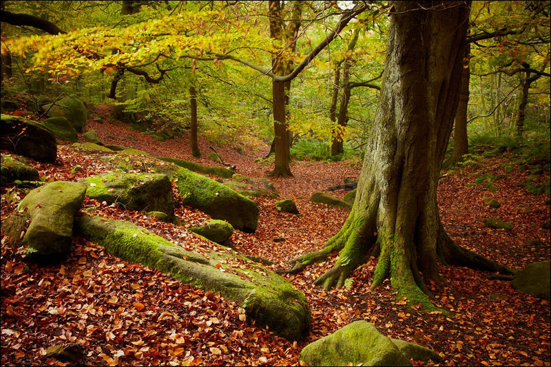 Old Padley Tree - Photographs of Woodland & Rivers
