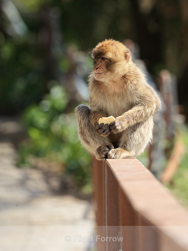 Barbary Macaque eating biscuit, Gibraltar - Monkey