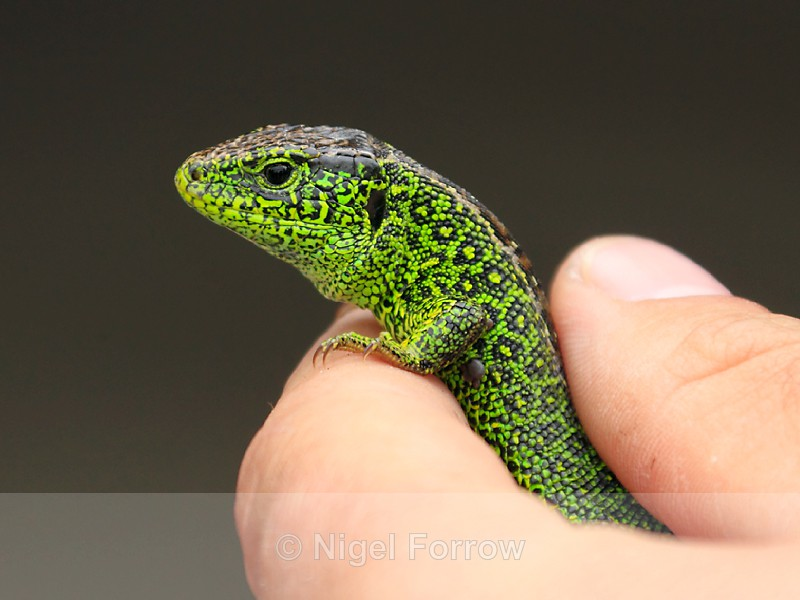 Sand Lizard (breeding male) - REPTILES & AMPHIBIANS