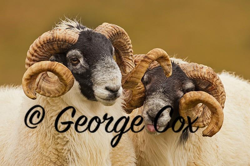 Cheeky Rams - Mammals